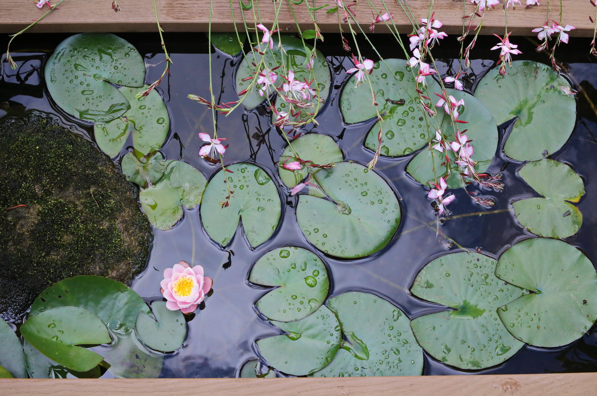 Water lilies and Gaura