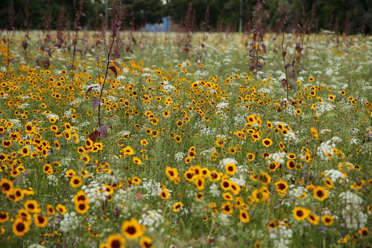 inspiration from Pictorial Meadows planting